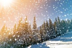 Piękny zimy landscape Sosny z śniegiem i mrozem na halnym skłonie zaświecali jaskrawymi słońce promieniami na kolorowym niebieski zdjęcia stock