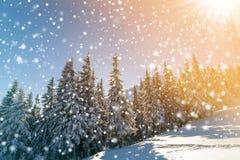 Piękny zimy landscape Sosny z śniegiem i mrozem na mo obraz stock