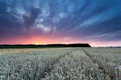 Piękny zmierzch nad pszenicznym polem Fotografia Stock