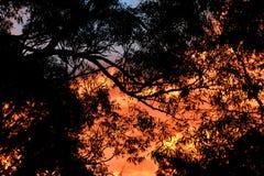 Piękny zmierzch przez Eukaliptusowych drzew obrazy stock