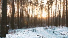 Piękny zmierzchu wschodu słońca słońca światło słoneczne W Pogodnej zimy Śnieżnym Iglastym lesie zbiory