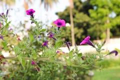 Piękny zmrok menchii trawy kwiat bengalczyka ogród obraz royalty free