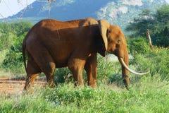 Piękny zwierzę Kenja słoń - Duzi 5 - Obrazy Stock