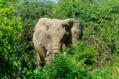Piękny zwierzę Kenja słoń - Duzi 5 - Zdjęcie Stock