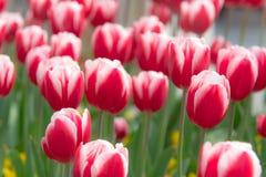 Pięknych czerwonych białych tulipanów ogrodowa wiosna jest nadchodzącym wiosna sezonu tło pojęciem Fotografia Royalty Free