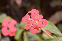pięknych czerwonych pomarańcze kwiatów dziki narastający kwitnienie kwitnie zdjęcie stock