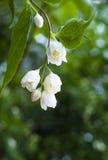 pięknych kwiatów świeży jaśmin zdjęcia stock