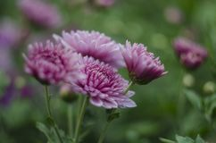 Pięknych kwiatów abstrakcjonistycznej sztuki makro- tło z miękką ostrością Menchii i purpur kwiatów chryzantema w naturze dalej Obraz Royalty Free