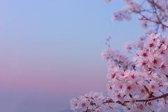 Pięknych kwiatów Czereśniowy okwitnięcie w wiośnie delikatnie zamazywał tło obrazy royalty free