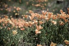 pięknych kwiatów krajobrazowa góra Kwitnący narcyz w Tenerife Teide Park Narodowy Obraz Stock