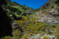 pięknych kwiatów krajobrazowa góra Kwitnący narcyz w Tenerife Teide Park Narodowy Obrazy Royalty Free