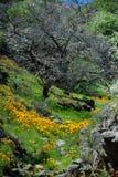 pięknych kwiatów krajobrazowa góra Kwitnący narcyz w Tenerife Teide Park Narodowy Obraz Royalty Free