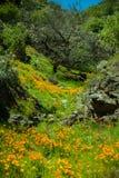 pięknych kwiatów krajobrazowa góra Kwitnący narcyz w Tenerife Teide Park Narodowy Zdjęcia Royalty Free