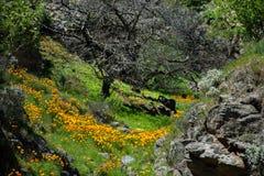 pięknych kwiatów krajobrazowa góra Kwitnący narcyz w Tenerife Teide Park Narodowy Zdjęcie Stock