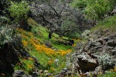 pięknych kwiatów krajobrazowa góra Kwitnący narcyz w Tenerife Teide Park Narodowy Fotografia Stock