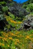 pięknych kwiatów krajobrazowa góra Kwitnący narcyz w Tenerife Teide Park Narodowy Zdjęcia Stock