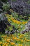 pięknych kwiatów krajobrazowa góra Kwitnący narcyz w Tenerife Teide Park Narodowy Obrazy Stock