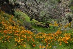 pięknych kwiatów krajobrazowa góra Kwitnący narcyz w Tenerife Teide Park Narodowy Fotografia Royalty Free