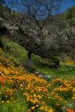 pięknych kwiatów krajobrazowa góra Kwitnący narcyz w Tenerife Teide Park Narodowy Zdjęcie Royalty Free