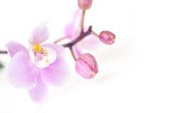 pięknych kwiatów odosobniona orchidea zdjęcia royalty free