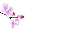 pięknych kwiatów odosobniona orchidea zdjęcia stock