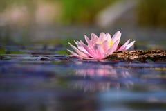 Pięknych kwiecenie menchii wodna leluja - lotos w ogródzie w stawie tło odbicia pluskotali nawierzchniową wodę zdjęcia stock