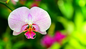 Pięknych menchii łaciasta orchidea Obrazy Royalty Free