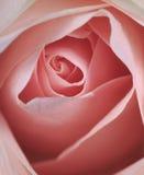 Pięknych menchii różany zbliżenie Obraz Stock