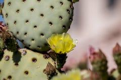 Pięknych płatków kaktusa dzicy pustynni kwiaty Obraz Royalty Free