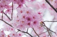 Pięknych pełnego kwiatu menchii czereśniowy okwitnięcie Sakura kwitnie zdjęcie royalty free