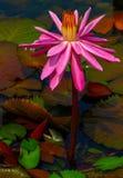 Pięknych różowych hybryd menchii wodna leluja fotografia stock