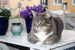Pięknych szarość cętkowany kot z zielonymi oczami zdjęcie royalty free