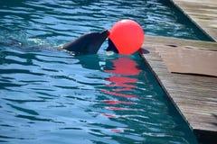 piłka delfina grać Fotografia Stock