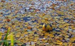 Piłka w jeziorze z jesieni ulistnieniem obraz royalty free