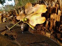 Piłki roślina z kolorowym liściem Zdjęcia Royalty Free