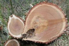 Piłujący drzewnego bagażnika dębowy drewno Fotografia Stock