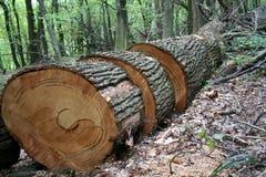piłujący drzewo fotografia stock