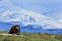 Piżmo wół, Ovibos moschatus z górą i śniegiem w tle, duży zwierzę w natury siedlisku, Greenland Przyrody scena f Fotografia Stock