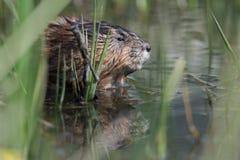 piżmoszczur Zdjęcie Royalty Free