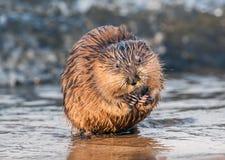 Piżmoszczur je mussel na Chesapeake zatoki plaży Zdjęcie Royalty Free