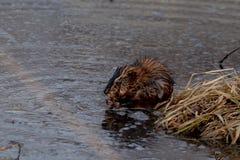 Piżmoszczur ogryza na trawach blisko jeziornej krawędzi obraz stock