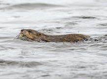 Piżmoszczura dopłynięcie w rzece Obrazy Stock