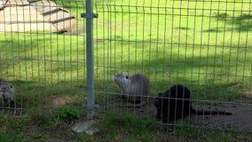 Piżmoszczura ondatra zibethicus zwierzęta chodzą w zoo ogródu klatce zbiory