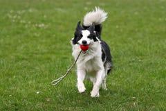 piłka Border Collie, Zdjęcie Royalty Free