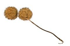piłka samolotu nasiona drzewa Zdjęcie Stock