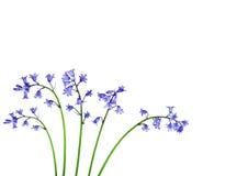 piękna bluebell kwiat Fotografia Royalty Free