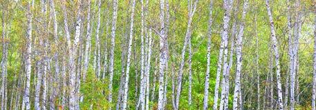 Piękna brzoza w jesieni Zdjęcia Royalty Free