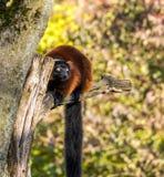 Pi?kna czerwie? ruffed lemura, Varecia rubra w niemieckim zoo zdjęcia stock