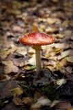 Piękna czerwieni pieczarka w jesieni Zdjęcie Stock