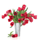 piękna czerwieni tulipan Fotografia Stock